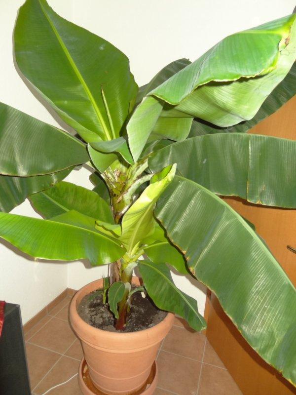 gro e bananen pflanze musa thomsonii zimmerpflanze gutes raumklima wintergarten ebay. Black Bedroom Furniture Sets. Home Design Ideas