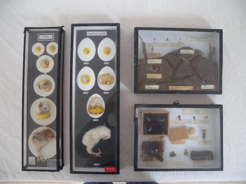 schaukasten lehrmaterial pr perat insekten haushuhn. Black Bedroom Furniture Sets. Home Design Ideas